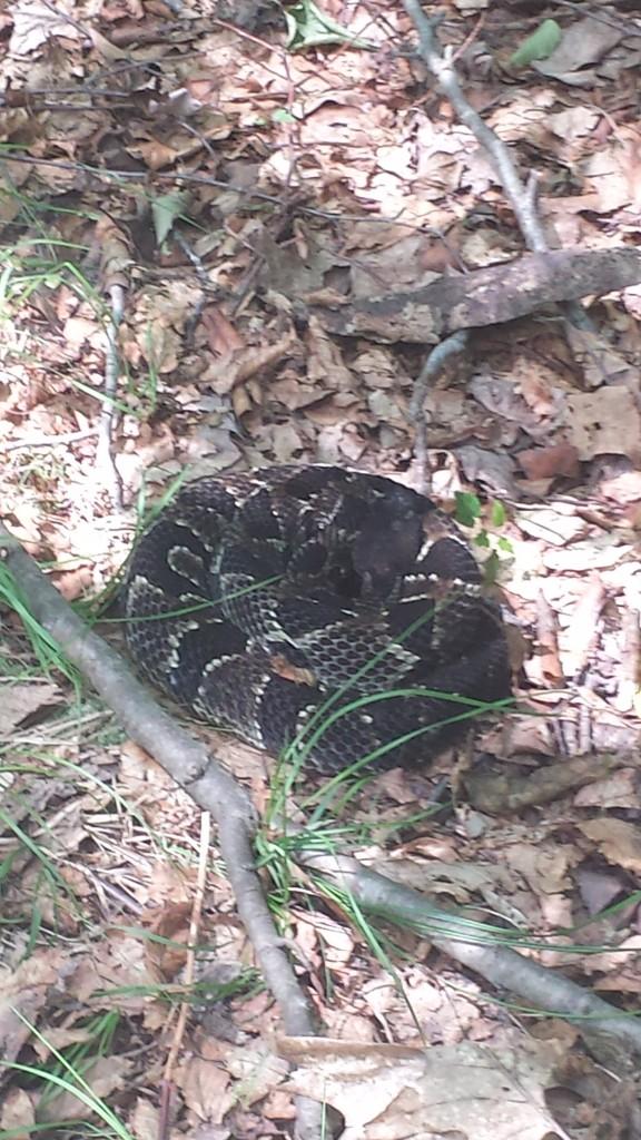 Rattlesnake chillin'